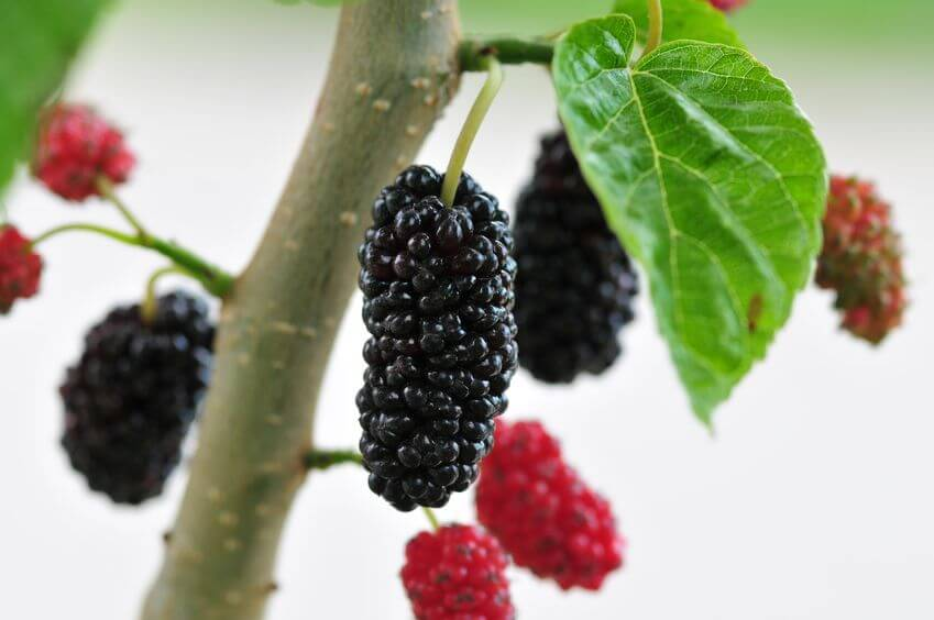 Mulberry extract | Gundry MD