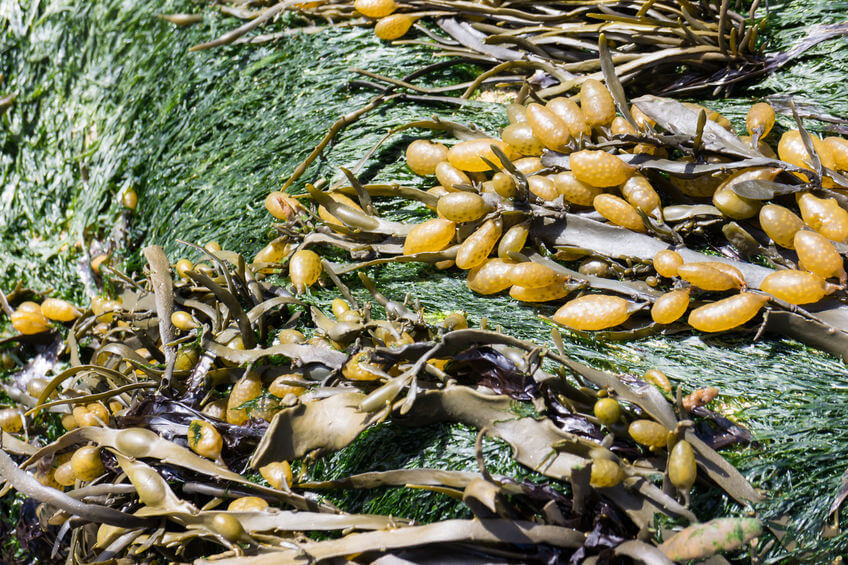 Bladderwrack: A Powerful Lectin Shield