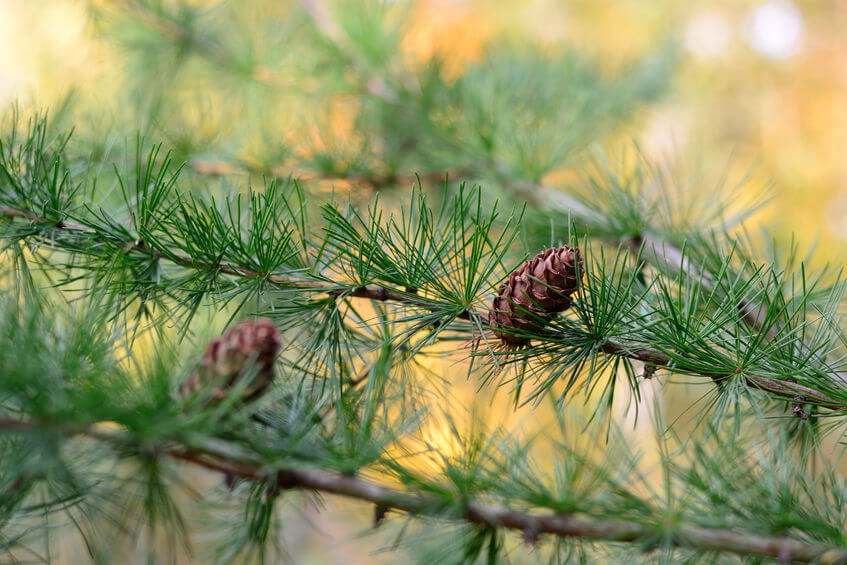 Larch Fiber: An Incredible Prebiotic to Help Heal Your Gut